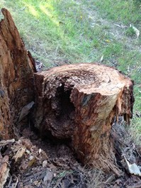Termite nest in tree stump